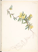 Yellow Trumpet-like Flowers on a Vine