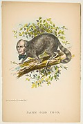 Same Old Coon (Henry Clay), from The Comic Natural History of the Human Race