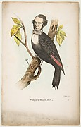 Woodpecker (William B. Gihon), from The Comic Natural History of the Human Race