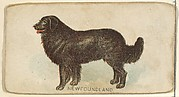 Newfoundland, from the Dogs of the World series for Old Judge Cigarettes