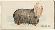 Yorkshire, from the Dogs of the World series for Old Judge Cigarettes