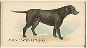 Curly Coated Retriever, from the Dogs of the World series for Old Judge Cigarettes