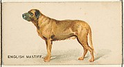 English Mastiff, from the Dogs of the World series for Old Judge Cigarettes