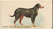 Sheep Dog or Collie (Smooth), from the Dogs of the World series for Old Judge Cigarettes