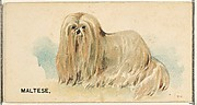 Maltese, from the Dogs of the World series for Old Judge Cigarettes