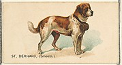 St. Bernard (Smooth), from the Dogs of the World series for Old Judge Cigarettes
