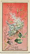 Lilac (Syringa Vulgaris), from the Flowers series for Old Judge Cigarettes