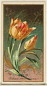 Tulip (Tulipa Gesheriana), from the Flowers series for Old Judge Cigarettes