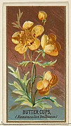 Buttercups (Ranunculus bulbosus), from the Flowers series for Old Judge Cigarettes