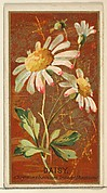 Daisy (Chrysanthemum leucanthemum), from the Flowers series for Old Judge Cigarettes