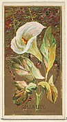 Calla Lily (Richardia Nethiopica), from the Flowers series for Old Judge Cigarettes