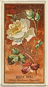 White Rose (Rose, Madame Plantier), from the Flowers series for Old Judge Cigarettes