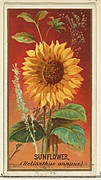 Sunflower (Helianthus annuus), from the Flowers series for Old Judge Cigarettes