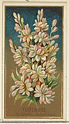 Tuberose (Pollanthes tuberosa), from the Flowers series for Old Judge Cigarettes