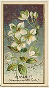 Jessamine (Jasminum Officinale), from the Flowers series for Old Judge Cigarettes