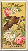 Cuckoo, from the Birds of America series (N4) for Allen & Ginter Cigarettes Brands