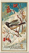 Snow Bird, from the Birds of America series (N4) for Allen & Ginter Cigarettes Brands