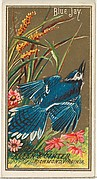 Blue Jay, from the Birds of America series (N4) for Allen & Ginter Cigarettes Brands