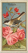 Chickadee, from the Birds of America series (N4) for Allen & Ginter Cigarettes Brands