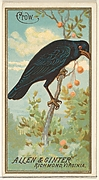 Crow, from the Birds of America series (N4) for Allen & Ginter Cigarettes Brands