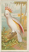 Tri-colored Cockatoo, from the Birds of the Tropics series (N5) for Allen & Ginter Cigarettes Brands