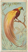 Great Bird of Paradise, from the Birds of the Tropics series (N5) for Allen & Ginter Cigarettes Brands