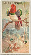 King Bird of Paradise, from the Birds of the Tropics series (N5) for Allen & Ginter Cigarettes Brands
