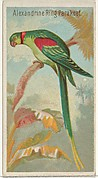 Alexandrine Ring Parakeet, from the Birds of the Tropics series (N5) for Allen & Ginter Cigarettes Brands