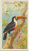Toco Toucan, from the Birds of the Tropics series (N5) for Allen & Ginter Cigarettes Brands