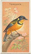 Torquata, from the Birds of the Tropics series (N5) for Allen & Ginter Cigarettes Brands
