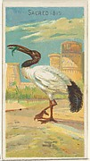 Sacred Ibis, from the Birds of the Tropics series (N5) for Allen & Ginter Cigarettes Brands