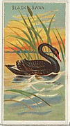 Black Swan, from the Birds of the Tropics series (N5) for Allen & Ginter Cigarettes Brands