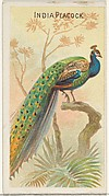 India Peacock, from the Birds of the Tropics series (N5) for Allen & Ginter Cigarettes Brands