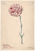 "A Carnation (""Hollandia Liberata"")"