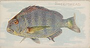 Sheepshead, from the Fish from American Waters series (N8) for Allen & Ginter Cigarettes Brands