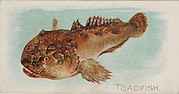 Toadfish, from the Fish from American Waters series (N8) for Allen & Ginter Cigarettes Brands