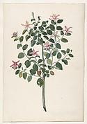Study of a Plant with Red-Purple Flowers (Sebastiana africana purpurea)
