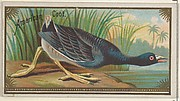 American Coot, from the Game Birds series (N13) for Allen & Ginter Cigarettes Brands