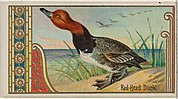 Red Head Duck, from the Game Birds series (N13) for Allen & Ginter Cigarettes Brands