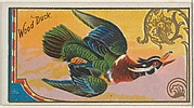 Wood Duck, from the Game Birds series (N13) for Allen & Ginter Cigarettes Brands