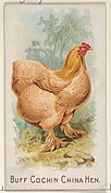 Buff Cochin China Hen, from the Prize and Game Chickens series (N20) for Allen & Ginter Cigarettes