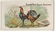 Black Red Game Bantams, from the Prize and Game Chickens series (N20) for Allen & Ginter Cigarettes