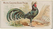 White-Crested Black Polish, from the Prize and Game Chickens series (N20) for Allen & Ginter Cigarettes
