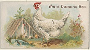 White Dorking Hen, from the Prize and Game Chickens series (N20) for Allen & Ginter Cigarettes