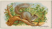 Grey Squirrel, from the Quadrupeds series (N21) for Allen & Ginter Cigarettes
