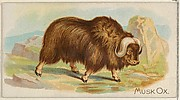 Musk Ox, from the Quadrupeds series (N21) for Allen & Ginter Cigarettes