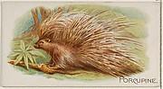 Porcupine, from the Quadrupeds series (N21) for Allen & Ginter Cigarettes