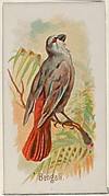 Bengali, from the Song Birds of the World series (N23) for Allen & Ginter Cigarettes