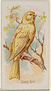 Canary Bird, from the Song Birds of the World series (N23) for Allen & Ginter Cigarettes