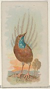 Emeu Wren, from the Song Birds of the World series (N23) for Allen & Ginter Cigarettes